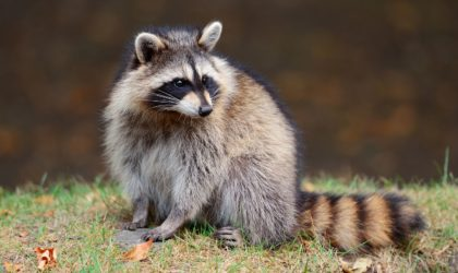 This Is Why Raccoons Are Smarter Than You Think!