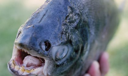 The Interesting Story Of A Rare Fish With Powerful Human-Like Teeth