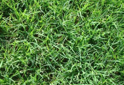 Top 5 Amazing Health Benefits Of Bermuda Grass Juice!