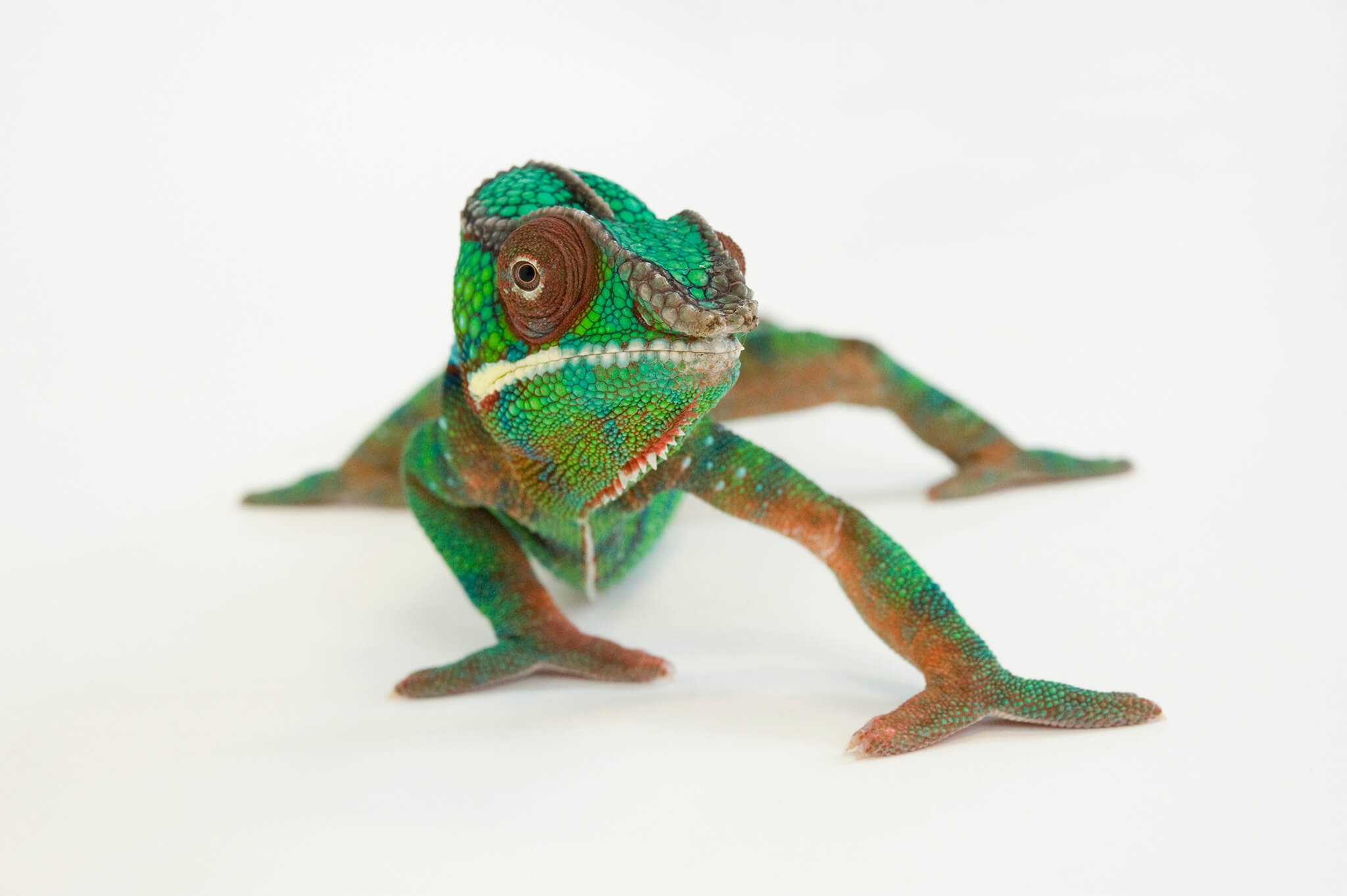 male color chameleon