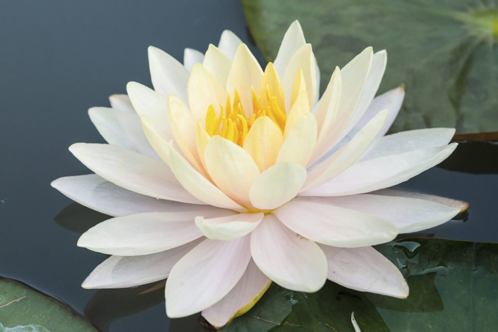 white-color-lotus