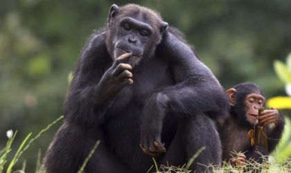 Did You Know That Chimpanzees Are Smarter Than Humans?
