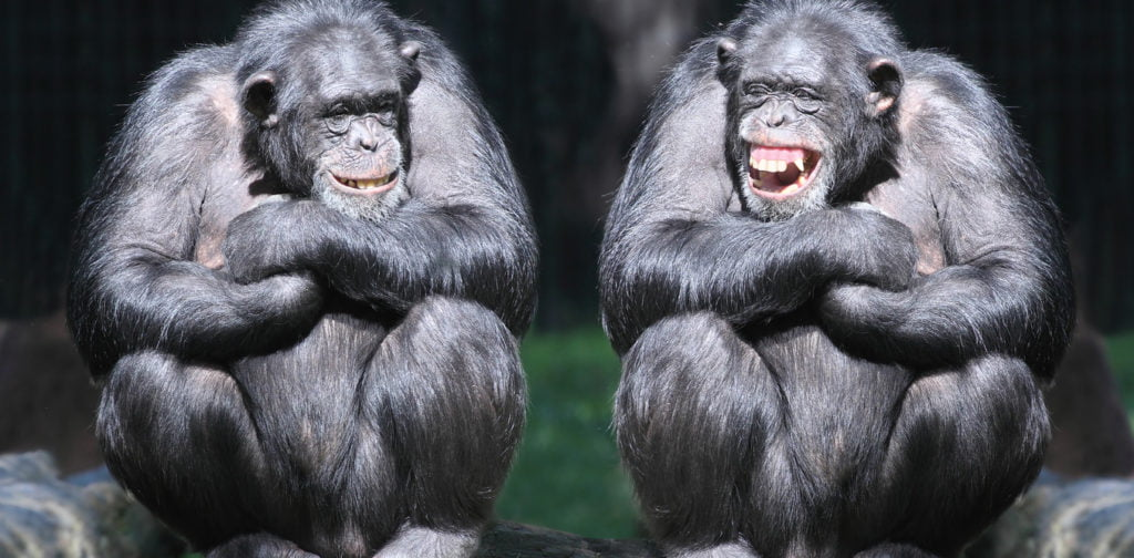 laughter origin from chimpanzees