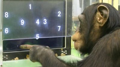 chimpanzees smarter than humans