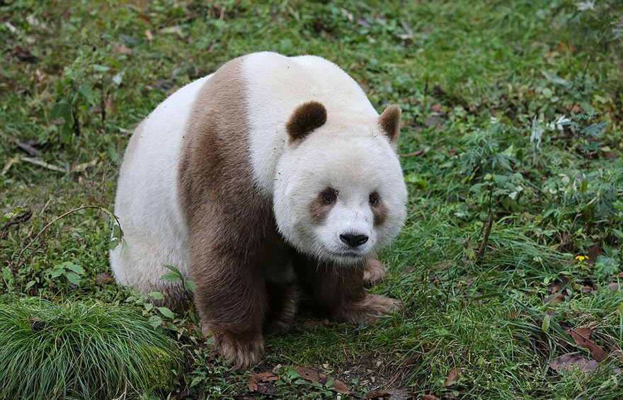 only existing brown panda