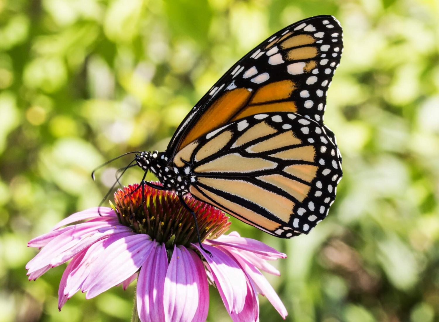 How Do Butterfly Wings Get Their Magnificent Color?