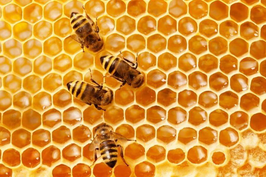 As we all know honey bees live in colonies which are ruled by a single Queen Bee, and hundreds of male drones with 20,000 to 80,000 female workers bees, who provide food, fertilization, and wax to construct the hive. Worker bees, though they are females, they are unable to produce fertilized eggs. Worker bees have a life span of six weeks, while the Queen Bee can live up to five years out of which she lives for two or three years producing eggs.