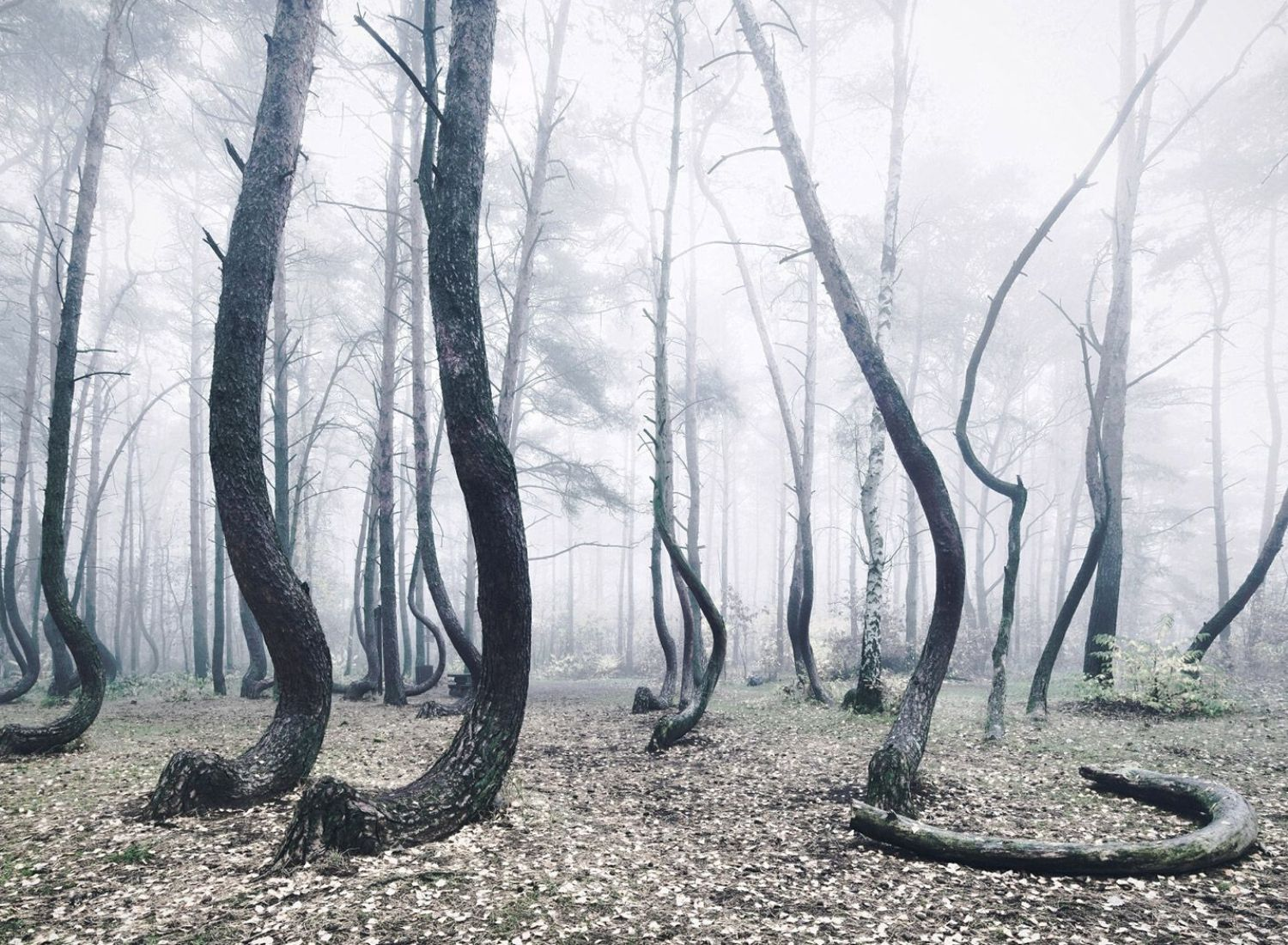 The Mystery Behind The Crooked Forest - 4 Proposed Explanations