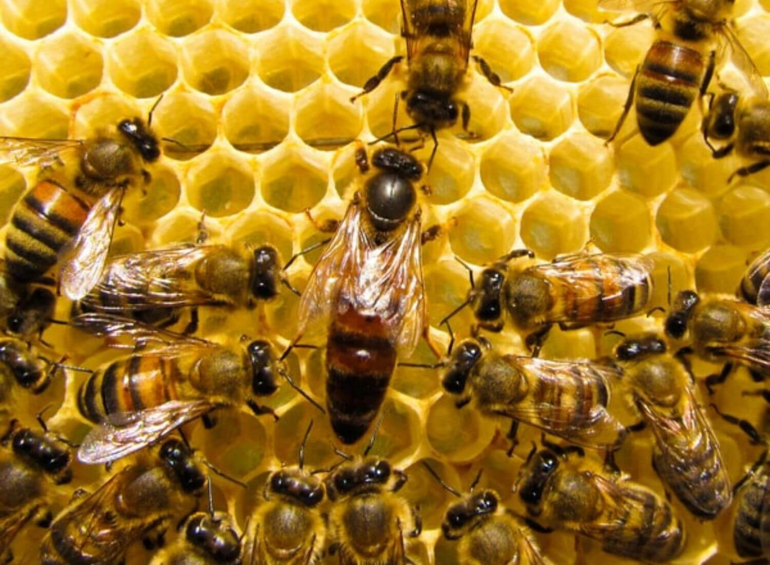 Queen Bee's Blind Sex: A Unusual Act Of The Bees