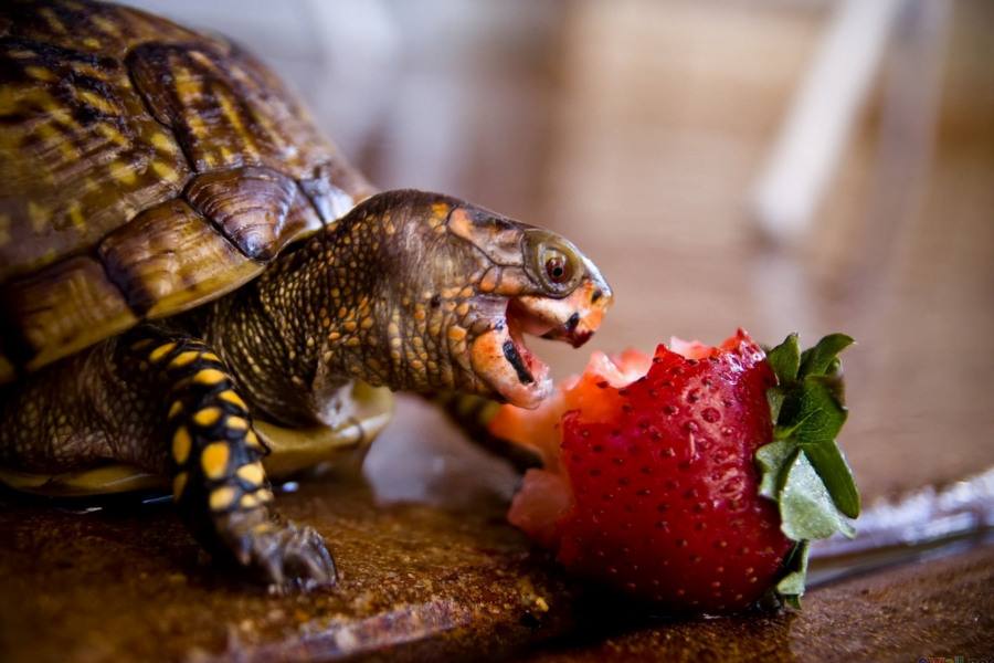 Turtle with fruit