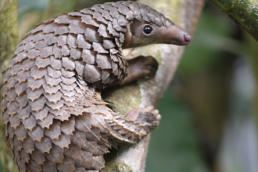 Pangolins Are The Most Trafficked Animals In The World