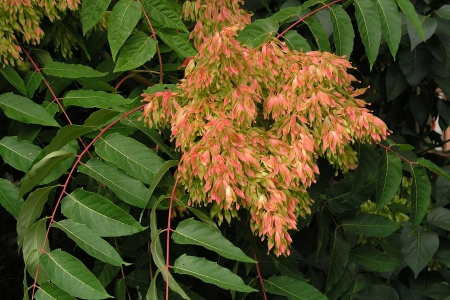 Ailanthus Triphysa Tree